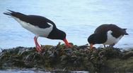 Stock Video Footage of Oystercatchers