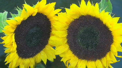 Bobbin' Sunflowers Stock Footage