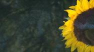 Sailing Sunflower Stock Footage