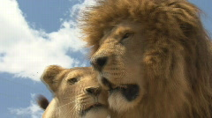 South Africa Lions 01 close love - stock footage