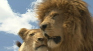 South Africa Lions 01 close love Stock Footage