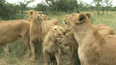 South Africa Lions 09 group Stock Footage