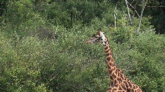 Giraffe walks down clearing in thick underbrush Stock Footage
