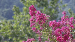 CrapeMyrtle1d Stock Footage