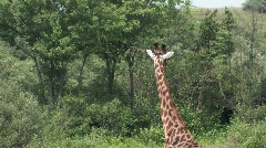 Giraffe looking up hill in thick underbrush Stock Footage