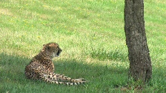 Leopards relaxing under shade tree on a hillside meadow Stock Footage