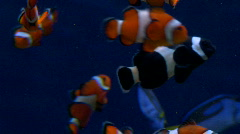 Clown Fish and blue tang  Stock Footage