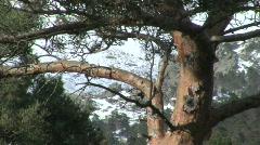 Pine on snow bacground - stock footage