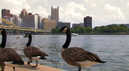 Pittsburgh Geese 843 Stock Footage