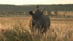 South Africa Jeep Safari 06 Rhino Stock Footage