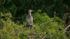 heron tree - stock footage