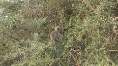 South Africa Jeep Safari 12 Monkeys Stock Footage