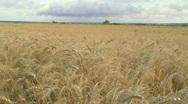 Ripe gold wheat field  Stock Footage