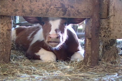 Baby Cow 198 - stock footage