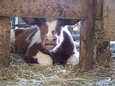 Stock Video Footage of Baby Cow 198