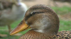 Ducks at pond Stock Footage