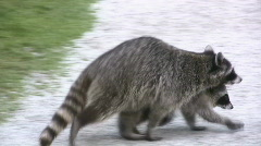 Mother And Baby Raccoons Walking Stock Footage
