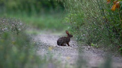 Rabbit Filmed in Nature (HD) Stock Footage