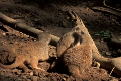 Meerkats playing in dirt by logs in shaded wooded area in early morning - stock footage