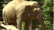 Stock Video Footage of db asian elephant