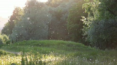 dandelion fluff flying with the forest on background - stock footage