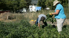 Husband wife picking vegetables P HD 2023 Stock Footage