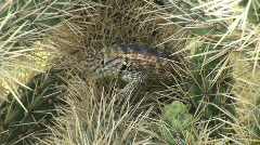 Spiny Lizard Camouflage Stock Footage