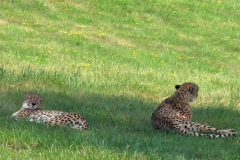 Two leopards relax on a hillside meadow Stock Footage