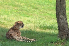 Leopard relaxing under shade tree on a hillside meadow Stock Footage