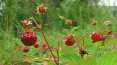 Woodland strawberry Stock Footage