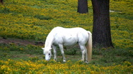 White pony in yellow field Stock Footage