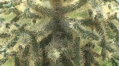 Spiny Lizard, Spiny Cactus Stock Footage