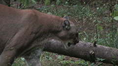 Cougar 2 - stock footage