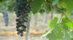 Vineyard grapes pan 1 Stock Footage