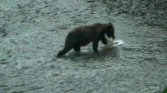 Black bear catching fish for dinner, part 1 Stock Footage