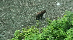 Brown bear hunting for fish Stock Footage