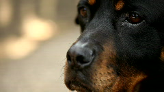 Face of a Rottweiler - stock footage