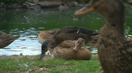 Stock Video Footage of Ducks at pond