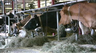 Stock Video Footage of Dairy Cows In A barn