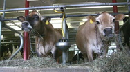 Stock Video Footage of Jersey Cows Feeding In A Barn