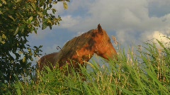 Horse on summer pasture - stock footage