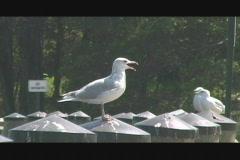 Talking Seagull 01 Stock Footage