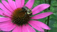 Vid064  bee on flower Stock Footage
