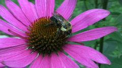 Vid065 bee on flower Stock Footage