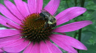 Vid065 bee on flower Stock Footage
