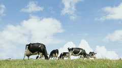Cows on horizon Stock Footage