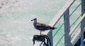 Seagull 1 HD Footage