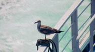 Seagull 1 Stock Footage
