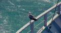 Seagull 2 Footage