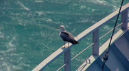 Seagull 2 Stock Footage